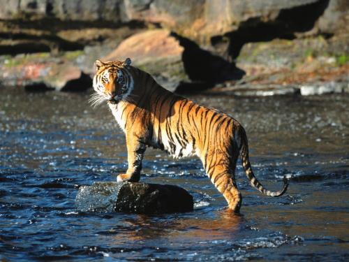 an overview of the bengal tiger Bengal tiger - overview - view incredible tiger videos - panthera tigris - on arkive.